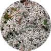 Белый мох (ягель)