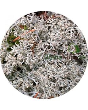 Мох ягель белый, 30х40 см