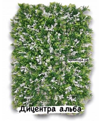Дицентра альба, 40х60 см
