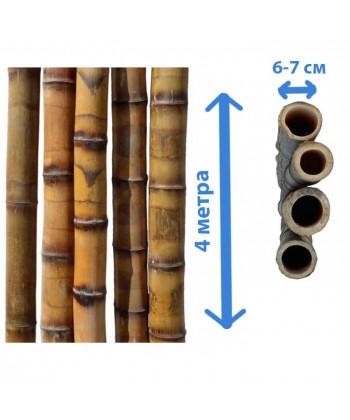 Ствол бамбука леопардовый, диаметр 6-7 см