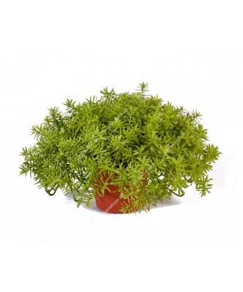 Дасти Миллер нежно-зеленый куст в горшочке, 20 см, диаметр 35 см