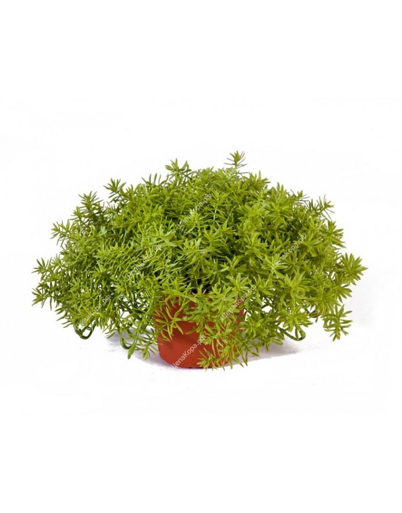 Дасти Миллер нежно-зеленый куст в горшочке