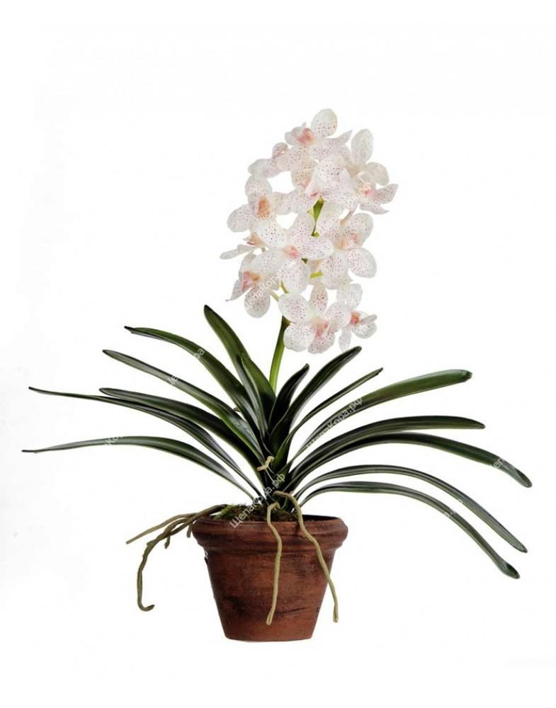 Орхидея Ванда кремовая с розовой крапинкой