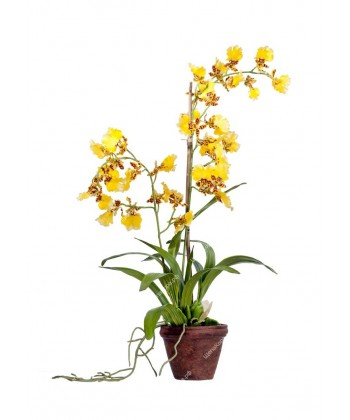 Орхидея Дансинг Канарейка в терракотовом кашпо, 65см