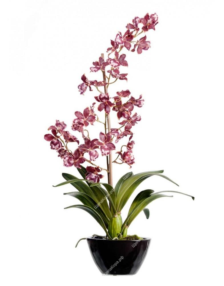 Орхидея Дендробиум бургундия с белым в коричнево-бордовом кашпо