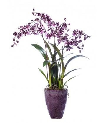 """Орхидея Онцидиум бургундия с белым в керамическом кашпо """"Бургундия"""", 90см"""