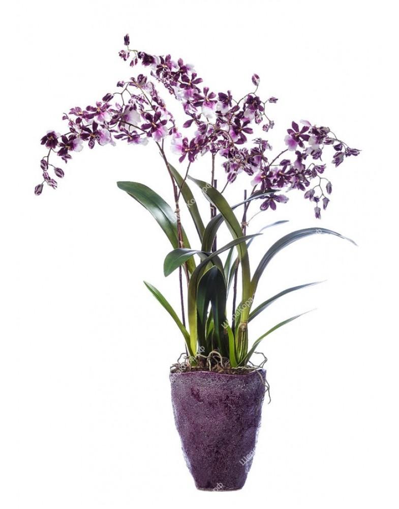 Орхидея Онцидиум бургундия с белым в керамическом кашпо