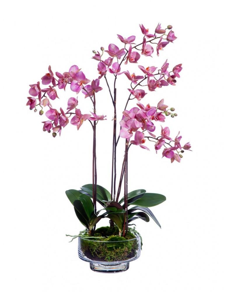 Орхидея Фаленопсис темно-сиреневая в стекле