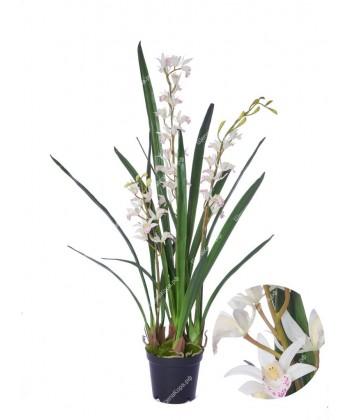 Орхидея Цимбидиум-мини Элегант