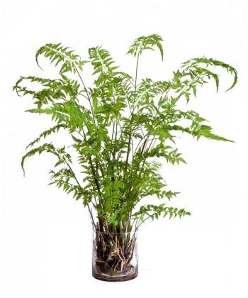 Папоротник Железный светло-зеленый, 125см в стекле с корнями, землей, мхом (Арт-объект)