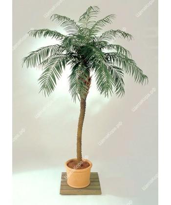 Финиковая пальма премиум