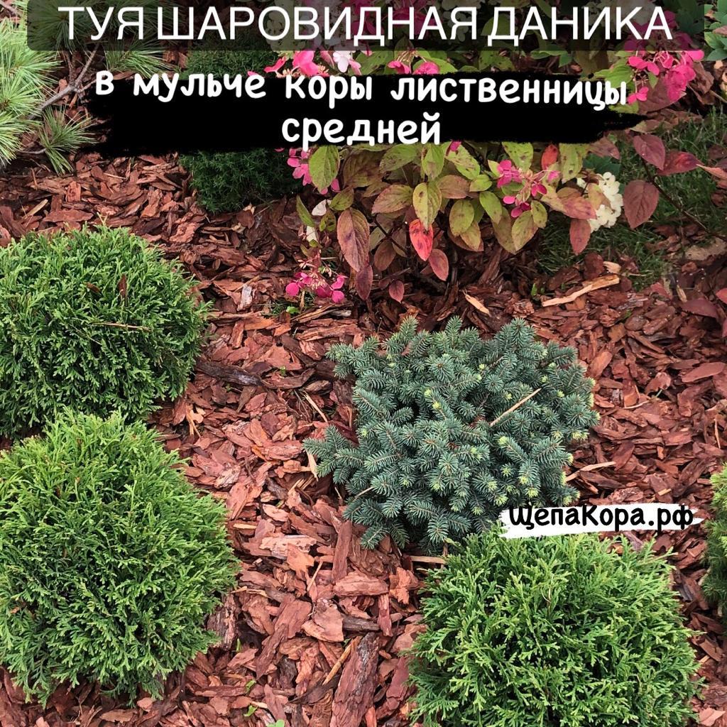 туя шаровидная в мульче коры лиственницы средней