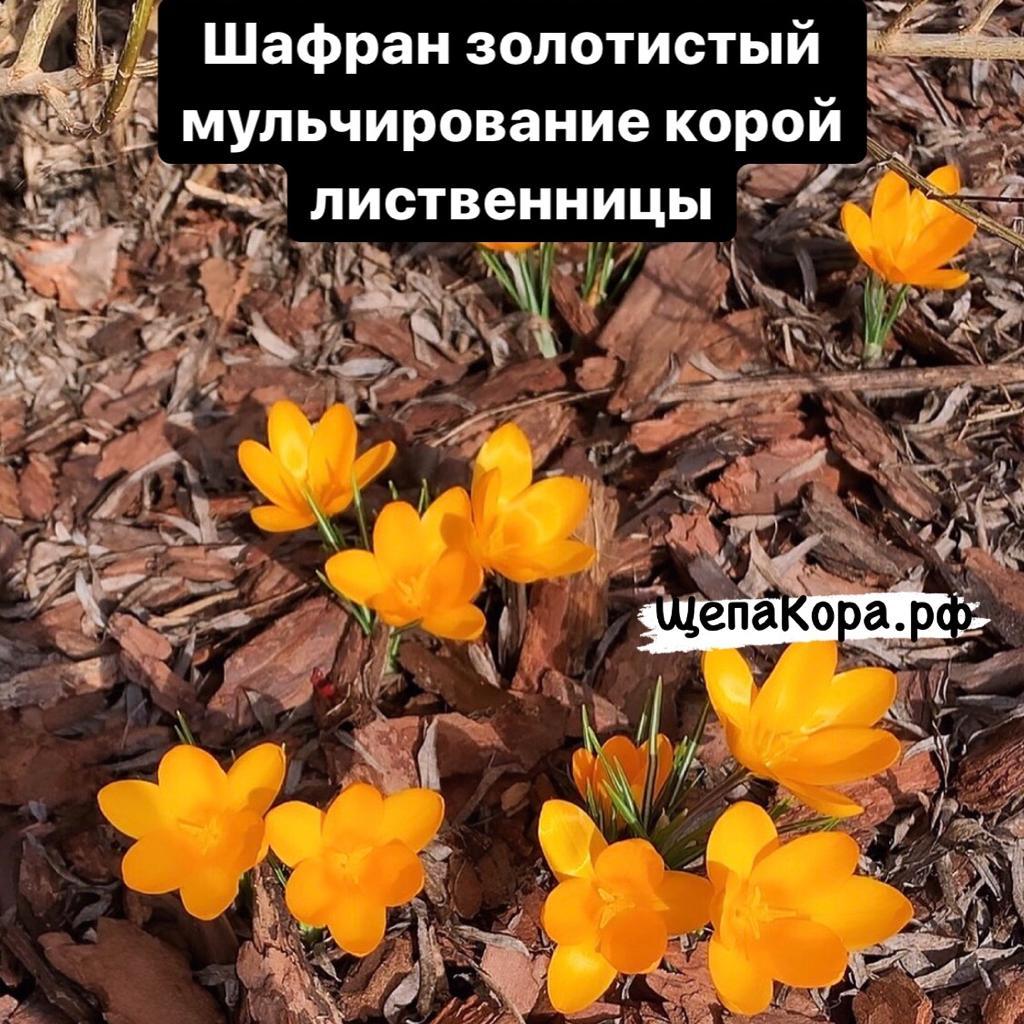 шафран золотистый в коре лиственнице